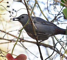 Grey Catbird Dining On Berries In The Thicket by Kathy Baccari