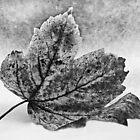 Decaying Leaf by sbarnesphotos