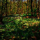 Sun Dappled Wood by John Hare