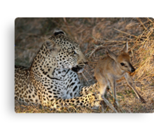Leopard/duiker interaction 5 Canvas Print