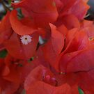 Orange Bougainvilleas by PtoVallartaMex