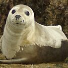 Grey Seal Pup by sbarnesphotos