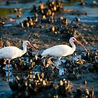 White Ibis by Joe Jennelle