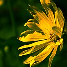 Yellow Flower (Halifax Gardens) by jphphotography
