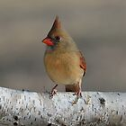 Cardinal on Birch Branch by Mully410