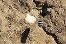White-banded Digger Bee by Kimberly Chadwick