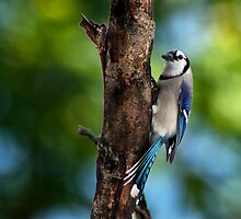 Summer Jay by Kathy Weaver