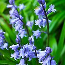 blueebells by rhian mountjoy