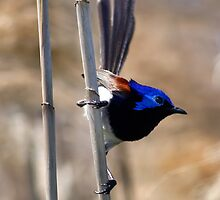 Varigated Fairy Wren by Bill  Robinson