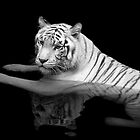 White Tiger by TLCPhotography