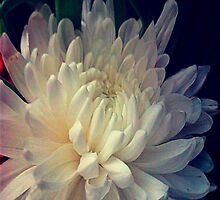 Chrysanthemum Full Bloom by AlyZen
