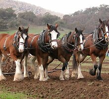 Draught horses ploughing at Granya, North East Victoria by jenenever
