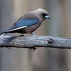 Dusky Woodswallow by Ian Creek