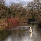 A Swan on the  River Itchen by NeilAlderney