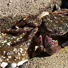 Shore Crab by Jordan Selha