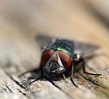 Do flies wear contact lenses? by Paul Wratislaw