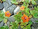 Scarlet Pimpernel Wildflower - Anagallis avensis by MotherNature