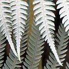 Silver fern. by Anne Scantlebury