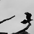 Wedge Tail Eagle by Alex Colcheedas