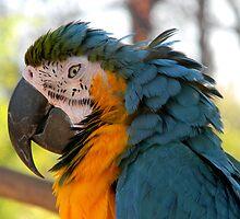 Macaw by rosaliemcm