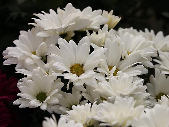 Daisy Flowers 7083 by Thomas Murphy