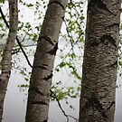 One Two Three Birch Tree 3238 by Thomas Murphy
