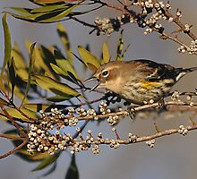 Yellow Rumped Warbler by Michele Conner