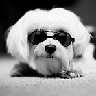Morkie Sun Glasses by sullyshah