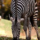 zebra by Lolabud