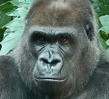A Gorilla Watches by Margaret Saheed