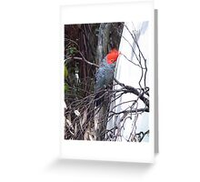 Male Gang Gang Cockatoo Greeting Card