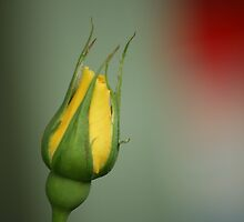 Freesia Rose Bud with red bokeh contrast by judith26