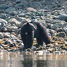 Canadian black bear, Tofino by Denzil