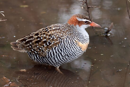 Buff-banded Rail by John Sharp