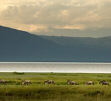 Running Wildebeest at Lake Manyara, Tanzania by Catherine Ames