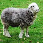 Herdwick, the cutest there is! by Knut P.  Boyum