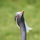 Demoiselle Crane by Lauren Tucker