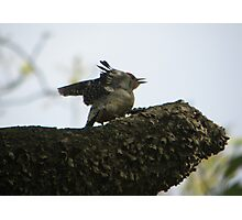 redbellied woodpecker opens wings Photographic Print