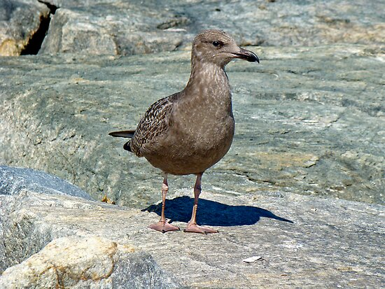 Juvenile Great Black-Backed Gull - Larus marinus by MotherNature