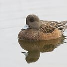 American Widgeon Hen - Reifel Migratory Bird Sanctuary, British Columbia by Stephen Stephen