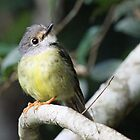 Pale Yellow Robin by triciaoshea