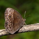Bicyclus safitza safitza - Common Bush Brown by Peter Wickham