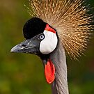 Grey Crowned Crane (Balearica regulorum) by Konstantinos Arvanitopoulos