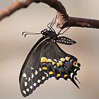 Pre-Flight Black Swallowtail by Robert E. Alter / Reflections of Infinity, LLC