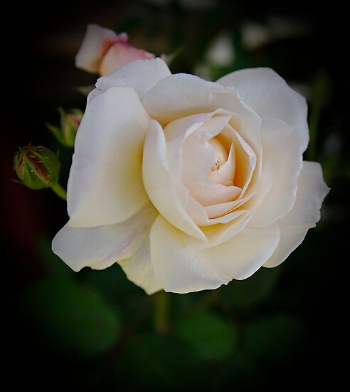 heavenly rose of mine by Clare Colins