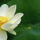 Waterlilly by Jeanette Varcoe