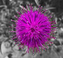 Purple Thistle by mfsutherland