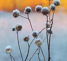 Seed Heads In Winter by lorilee