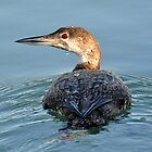 The Common Loon by Kathy Baccari