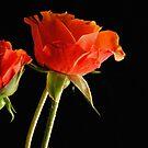 Orange Rose by Robin Lee